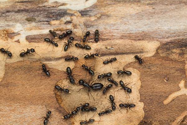 Trucs anti fourmis charpentiere
