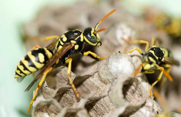 Trucs pour détruire un nid de guepes et éloigner les guêpes