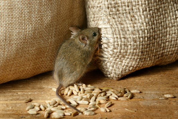répulsif souris naturel