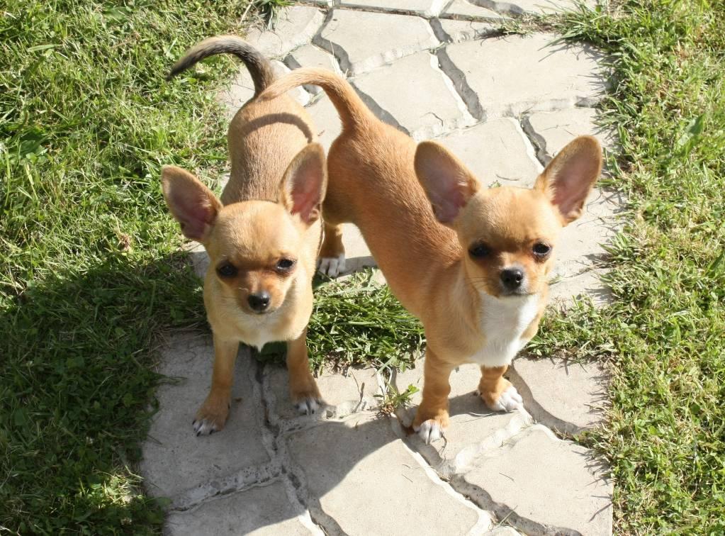 assurance chien Chihuahua