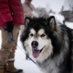 assurance chien Malamute d'Alaska