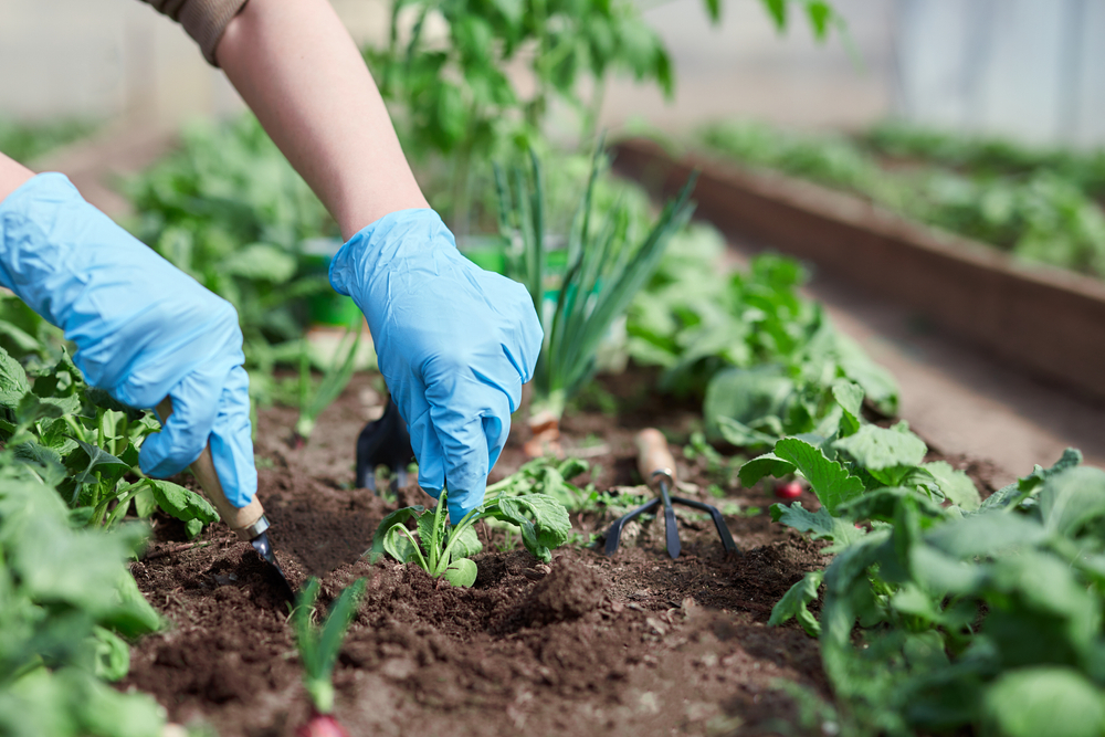 C'est pourquoi vous devriez saupoudrer de sucre dans votre jardin